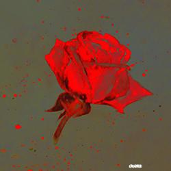 Ma rose 250px